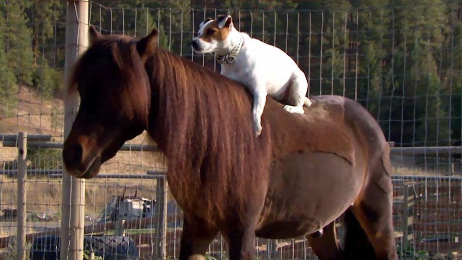 Cão e pônei mostram sua parceria malabarista em Amizades Insólitas