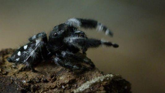 Indomável com Filipe DeAndrade: Aranhas-Saltadoras