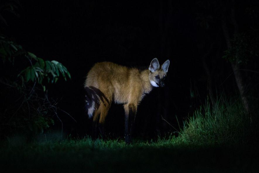 Lobo-guará se aproxima do alojamento de pesquisadores para vasculhar lixeiras em busca de alimento. O comportamento ...