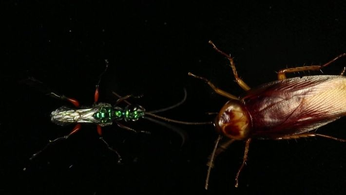 Esta vespa transforma suas presas em zumbis