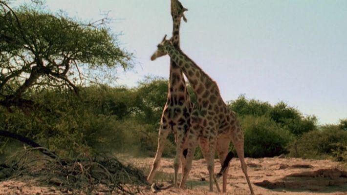 A força das girafas