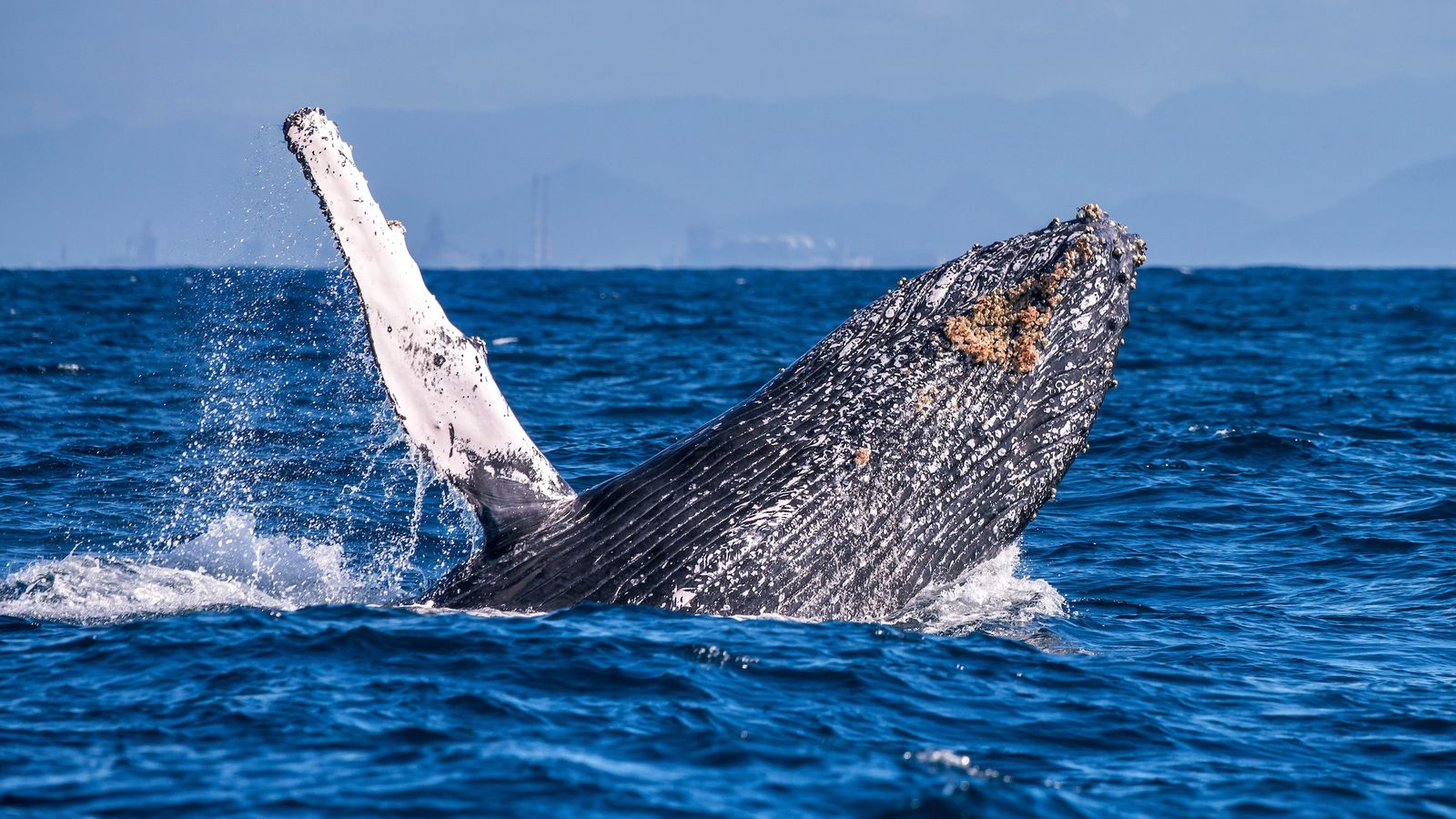 salto-da-baleia-jubarte