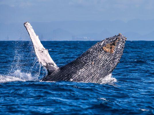 Baleias não borrifam água de seus espiráculos — e outros mitos desmentidos
