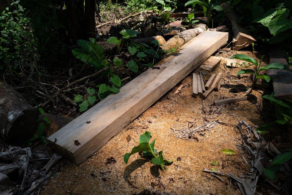O corte da madeira é feito no mesmo local. Aqui, os madeireiros tiveram de fugir antes ...