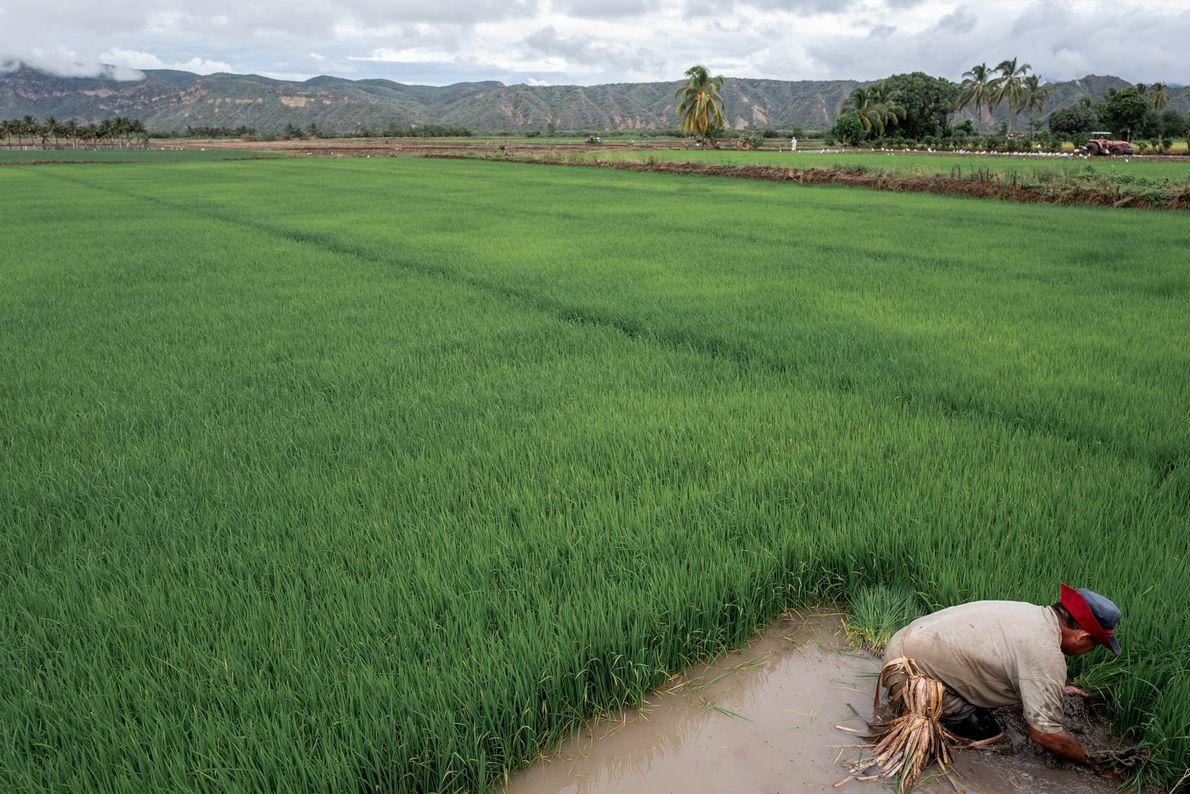 Trabalhador cultiva arroz em seu território próximo a Bagua, departamento do Amazonas, Peru.