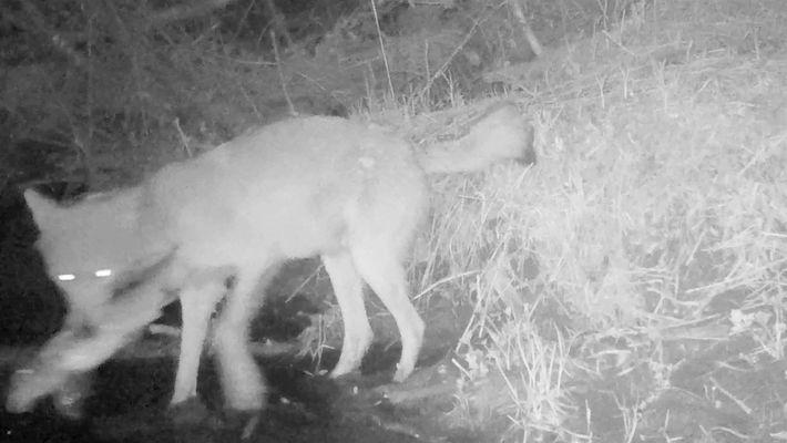 Vídeo inédito mostra lobos pescando e comendo peixes