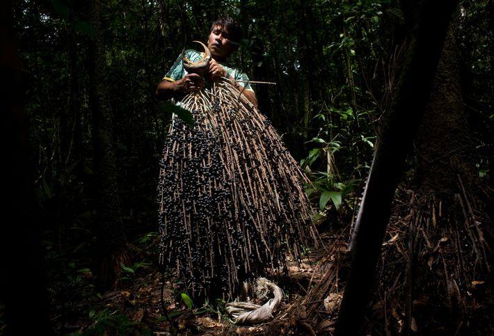 acai-extrativismo-amazonia-Xixuau-resex