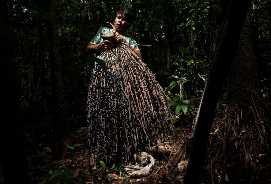 Homem segura um cacho de açaí coletado na Reserva Extrativista Baixo Rio Branco-Jauaperi, na fronteira entre ...