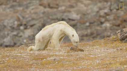 Vídeo de cortar o coração mostra urso-polar faminto em terra sem gelo