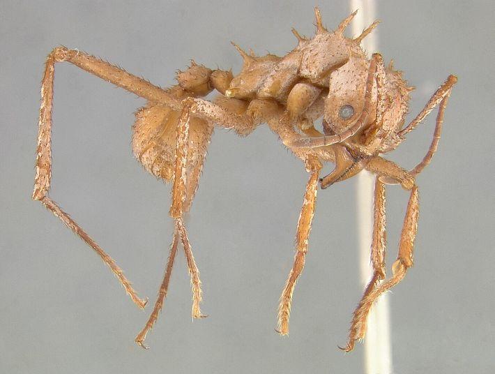 A armadura da Acromyrmex echinatior a ajuda ao enfrentar batalhas com outras espécies de formigas.