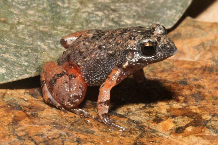Os incomuns detalhes alaranjados nos braços e nas pernas desse animal renderam-lhe o nome de Adenomera ...