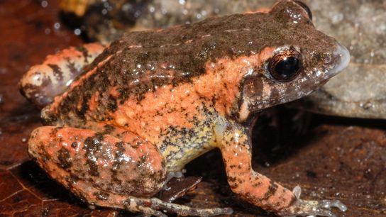 Uma das espécies descritas recebeu o nome de Adenomera kayapo, em homenagem às comunidades indígenas Mebêngôkre-Kayapó, ...