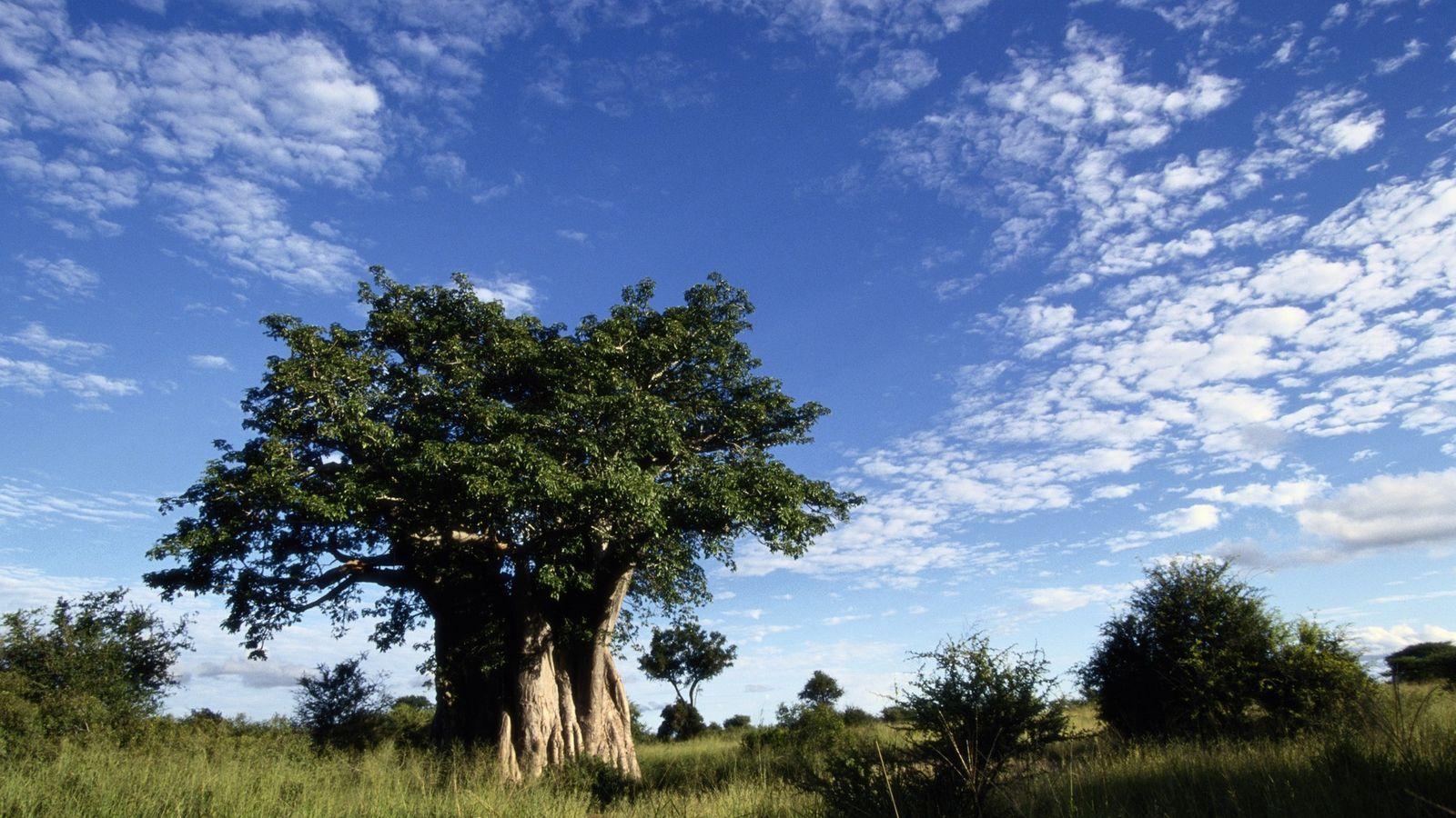 Uma enorme árvore baobá domina a paisagem na savana do Parque Nacional Kruger, na África do ...