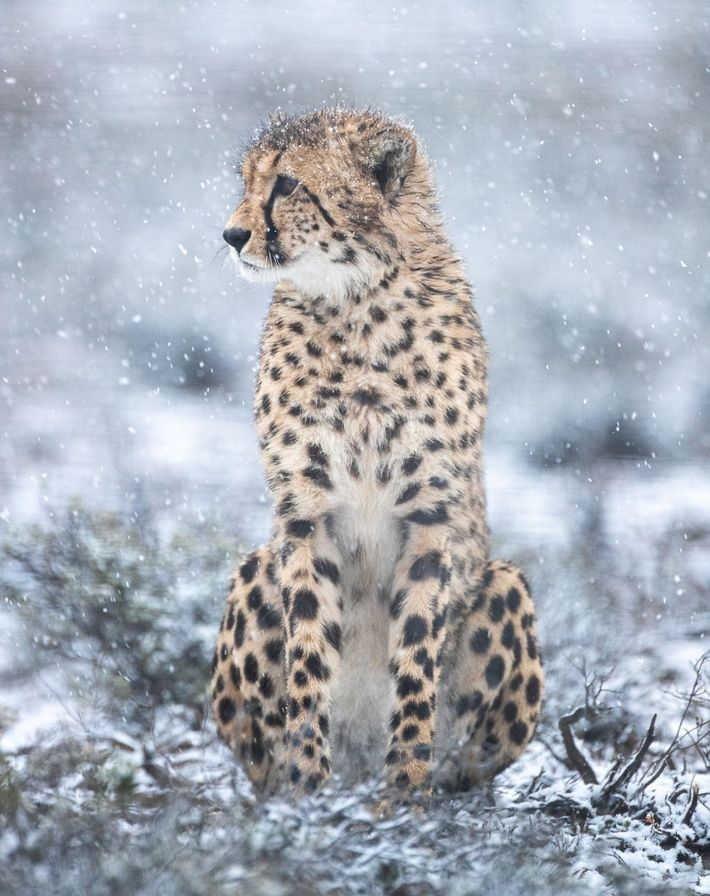 Um guepardo macho recentemente libertado na Reserva Natural Rogge Cloof observa a paisagem. Os felinos recém-transferidos ...