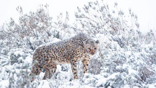 Fotografias raras mostram guepardos africanos em tempestade de neve