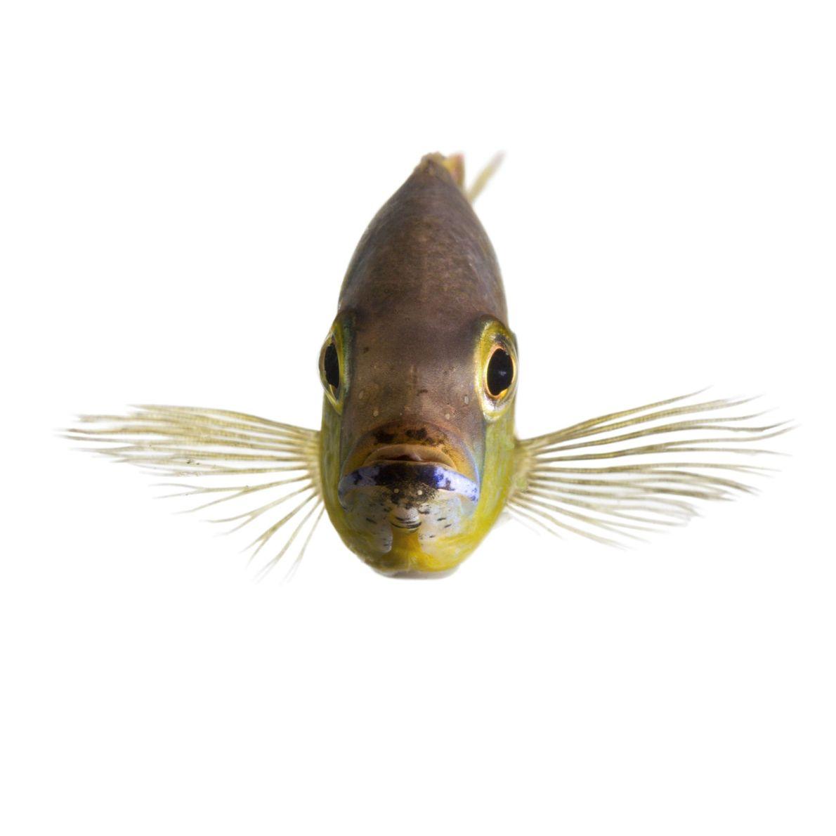 Alguns peixes ciclídeos africanos, nativos do Lago Tanganyika na África Leste, conseguem distinguir peixes familiares de ...