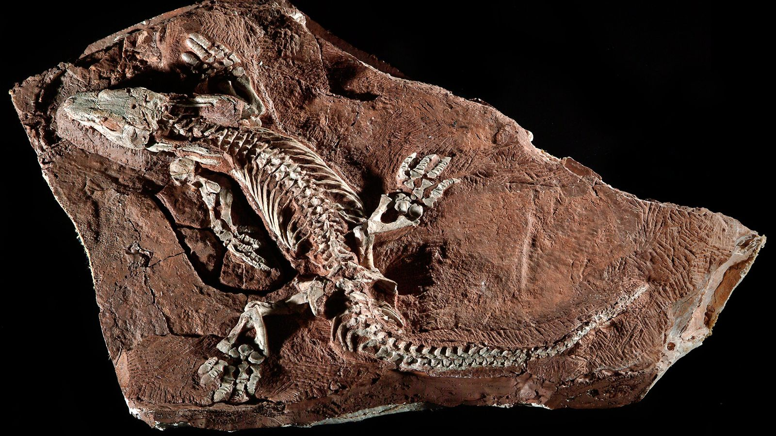 Este fóssil incrivelmente completo de Orobates pabsti foi encontrado na Alemanha.