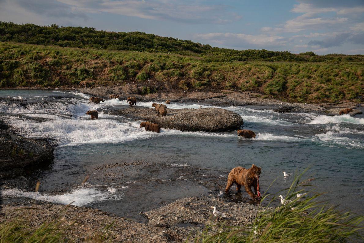 Ursos-pardos pescam salmão em McNeil Falls, no Alasca, lar de uma das maiores concentrações sazonais de ...