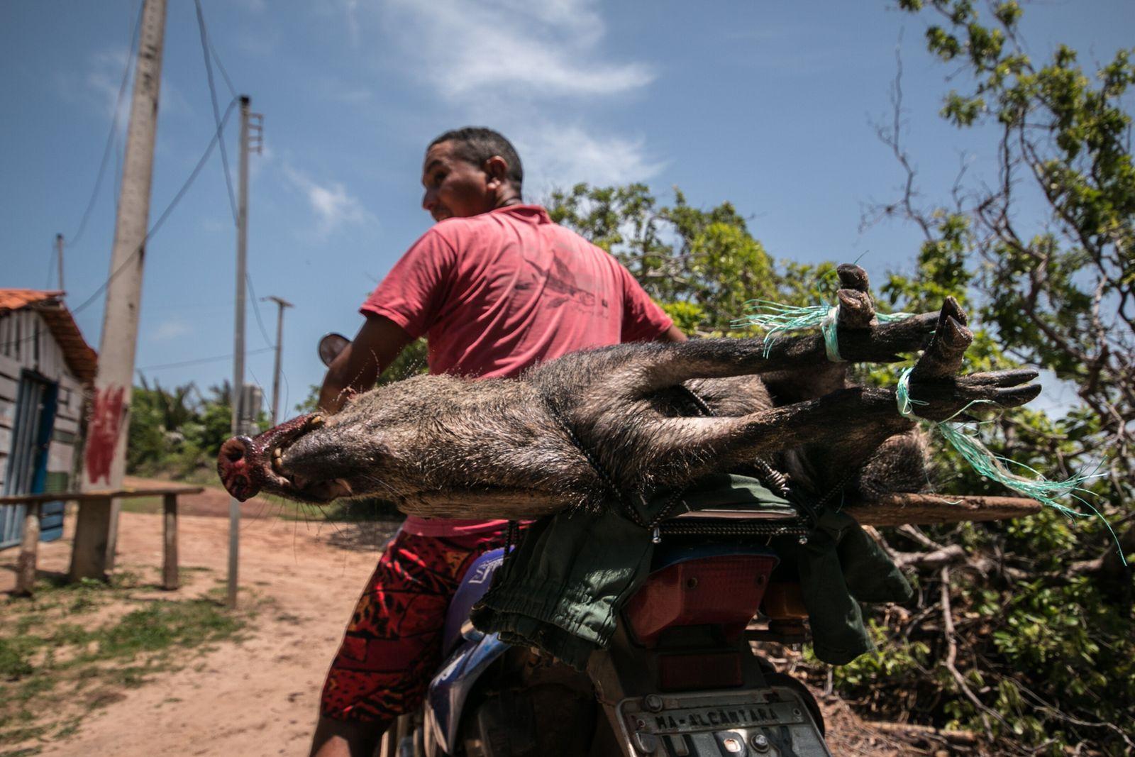 Porco do mato caçado no manguezal é levado para a comunidade de Mamuna, que segue em ...