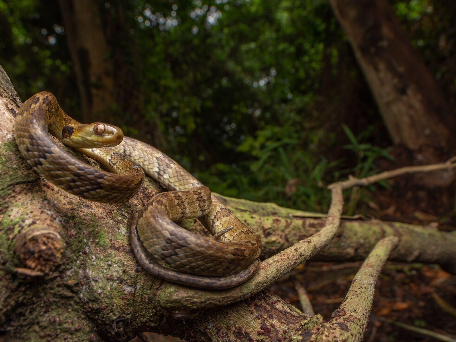 Serpente não peçonhenta 'Dipsas albifrons' na ilha de Alcatrazes, litoral de São Paulo. Cientistas acreditam que ...