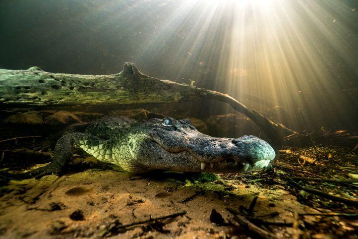 O jacaré-americano,Alligator mississippiensis, é um arcossauro moderno descendente de primos répteis antigos.
