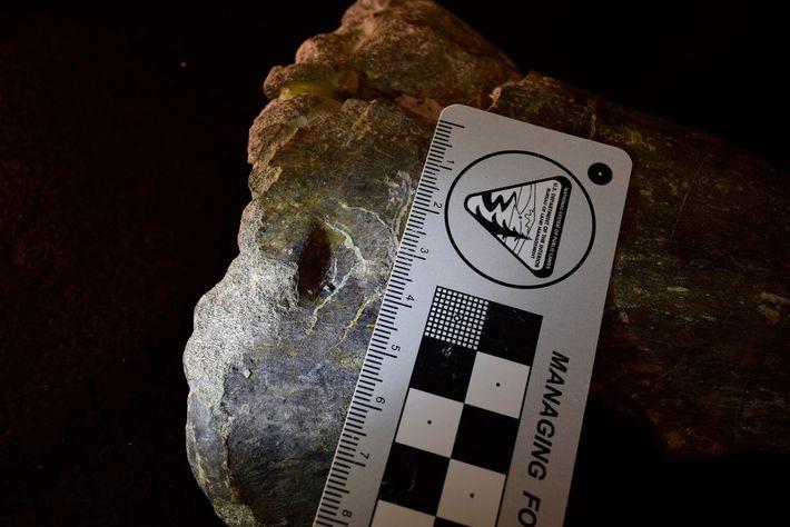Essa perfuração no osso da tíbia de um fóssil de Allosaurus indica aos cientistas que o ...