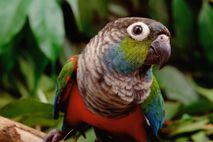 A tiriba-de-barriga-vermelha é uma entre as 1,5 mil espécies de aves encontradas na Floresta Amazônica. Com ...
