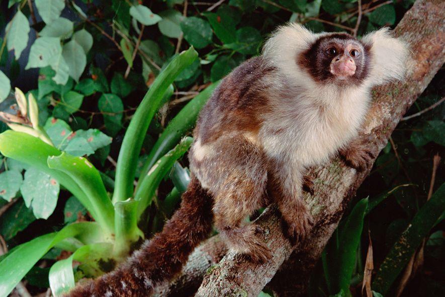 Um sagui-de-Santarém em uma floresta brasileira saudável. Algumas espécies recém-descobertas de macacos vivem em áreas muito ...