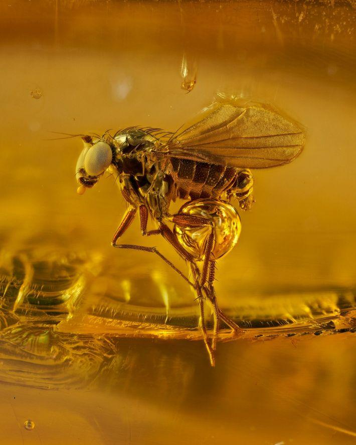 mosquito com asas preso e uma resina de árvore ressecada há 40 milhões de anos