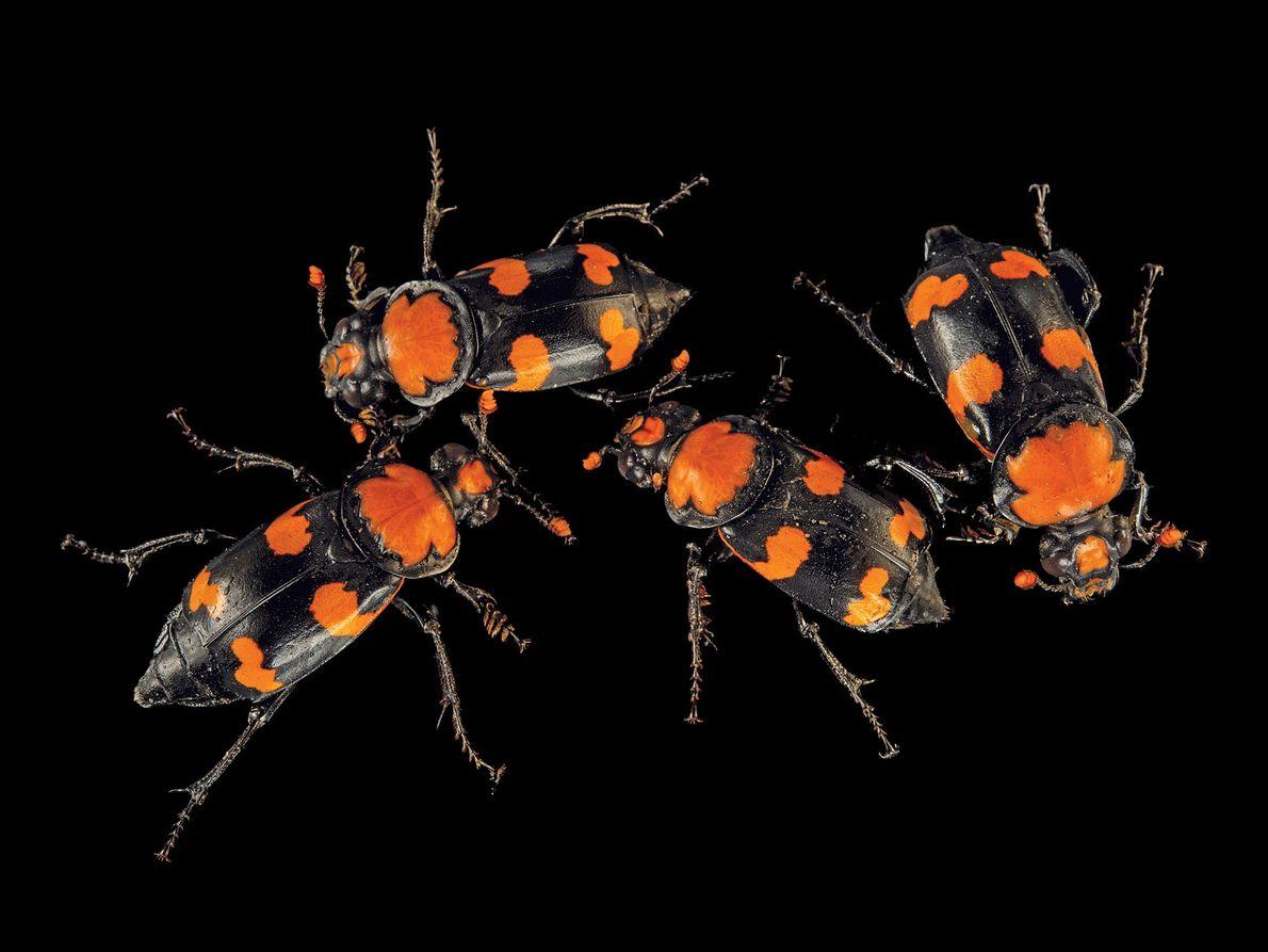 Besouro da espécie Nicrophorus americanus (em perigo crítico de extinção)