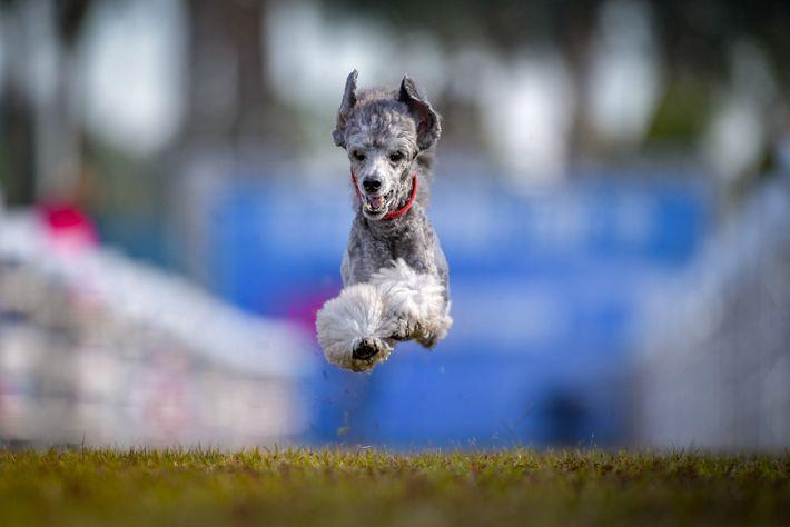 Elliott ganhou na categoria reservada à sua raça, poodle miniatura.