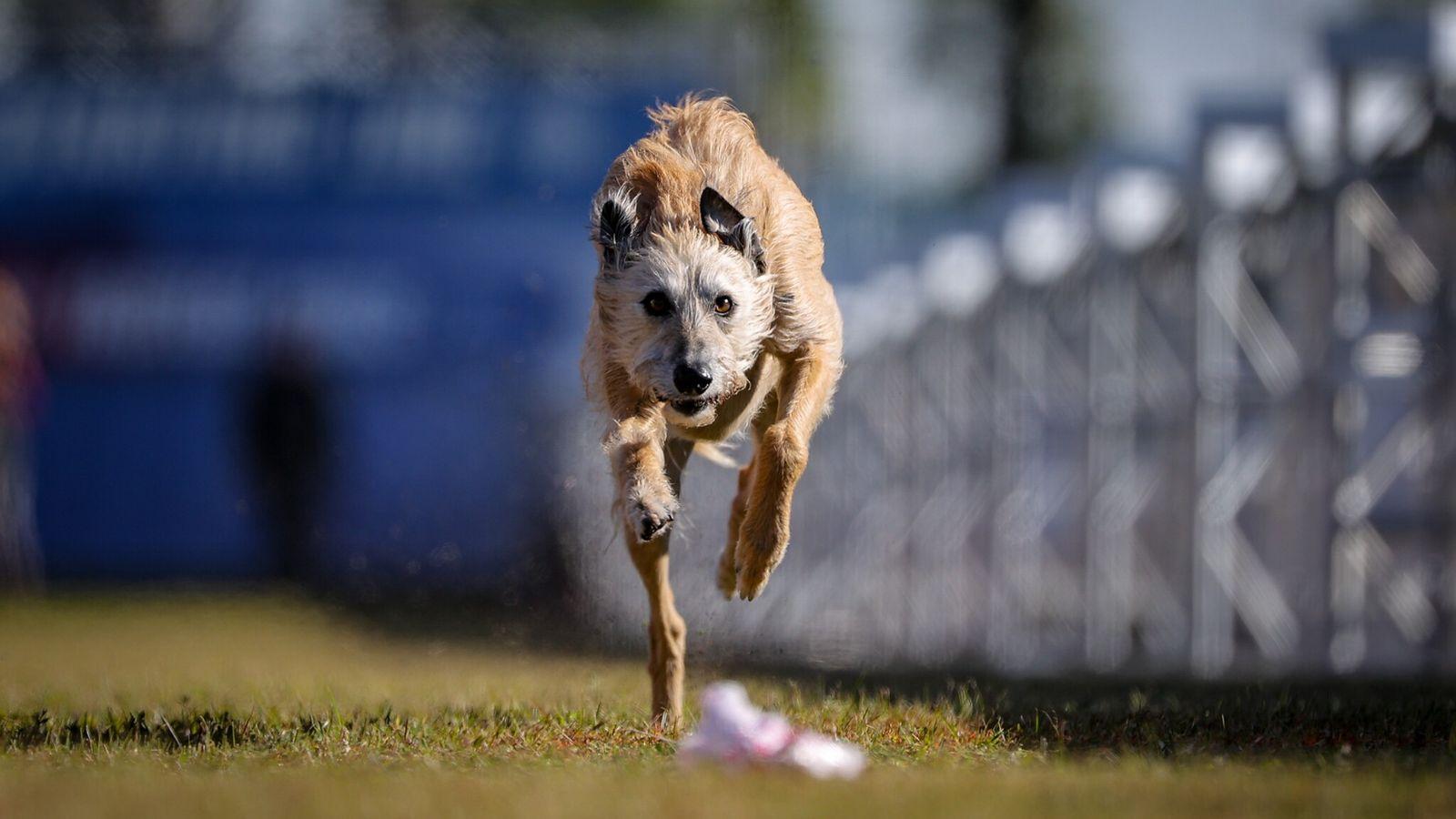 Phelan, que tem quatro anos de idade, ganhou a categoria geral, que envolve cães de todas as ...