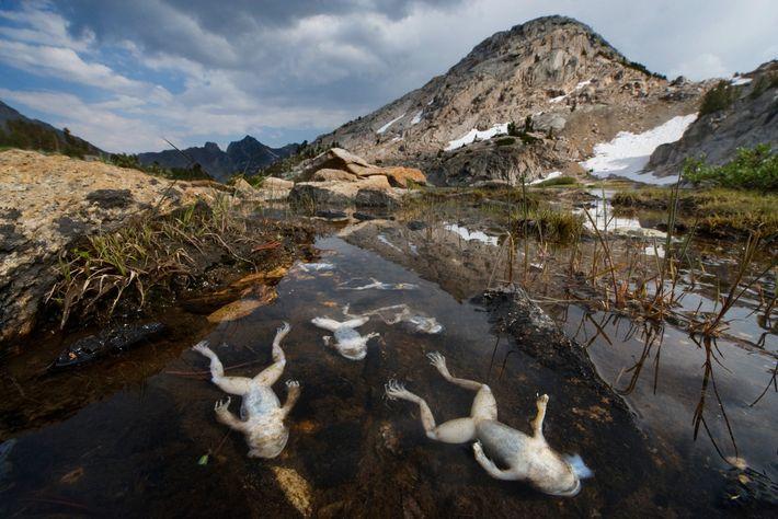 Nas montanhas de Sierra Nevada, na Califórnia, os sapos estão definhando em razão dos fungos quitrídios.