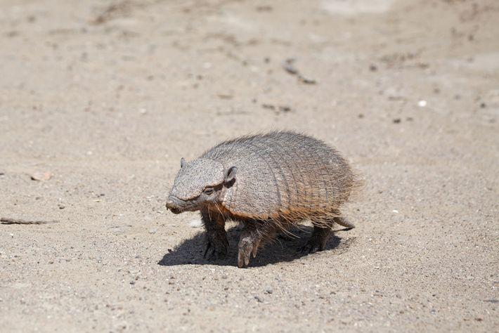 As populações locais de tatus-peludos-andinos estão em declínio. Os animais vivem em altas altitudes na Bolívia ...