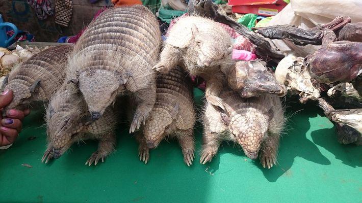 Mesmo sendo ilegal vender tatus e badulaques feitos do animal na Bolívia, eles podem ser facilmente ...