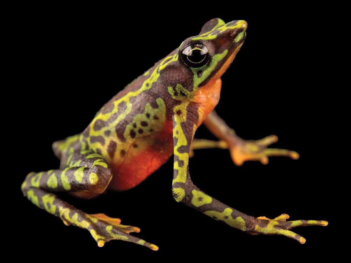 Sapo da espécie Atelopus palmatus (em perigo crítico de extinção) – Este sapo nativo do Equador, ...