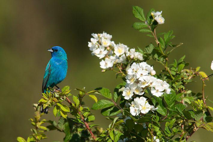 Para determinar sua direção, os pássaros da espécie Passerina cyanea observam a rotação de padrões estelares ...