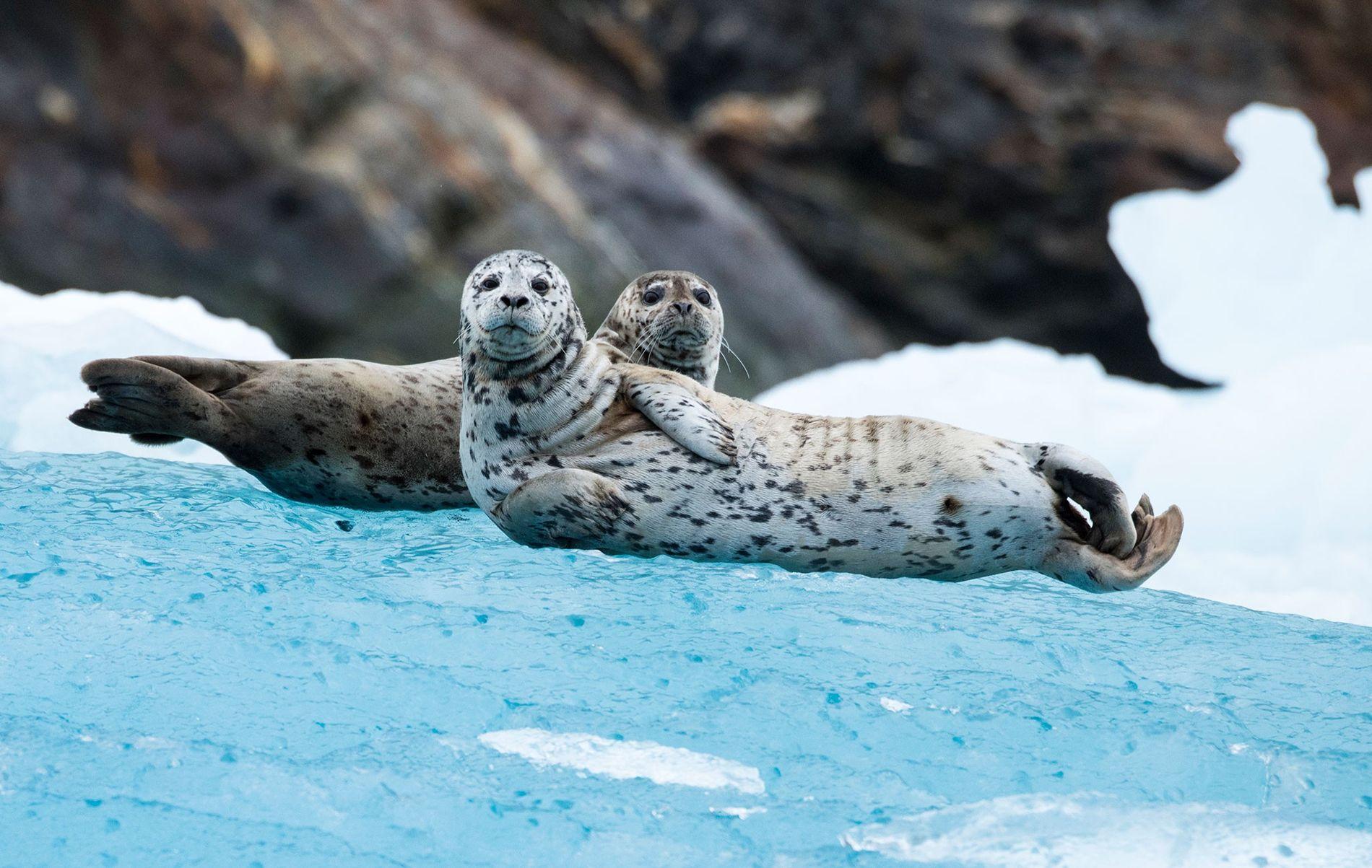 As focas-comuns são os primeiros mamíferos marinhos conhecidos por se orientarem pelas estrelas. Na foto, dois ...