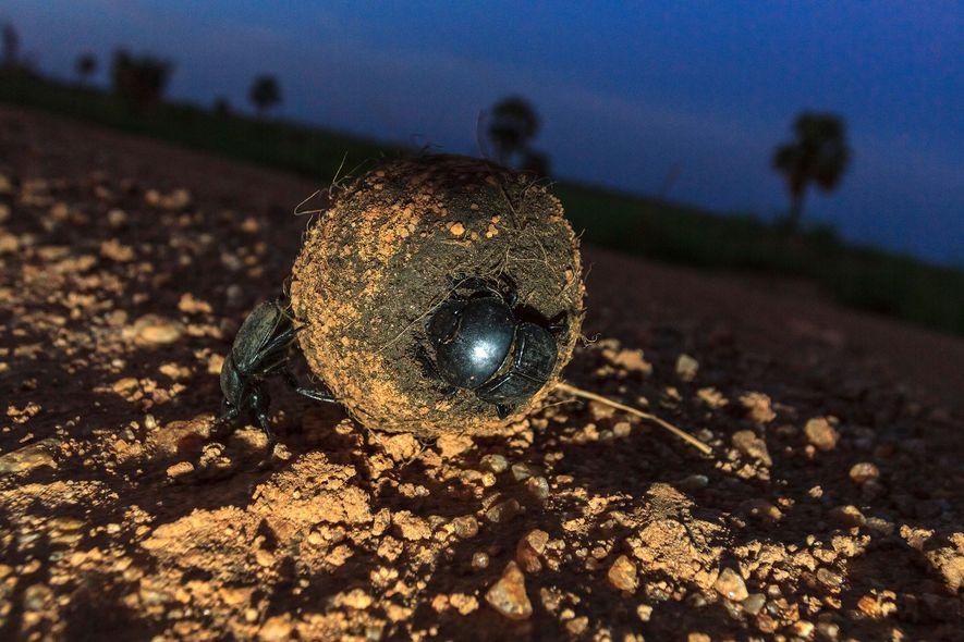 Um escaravelho da espécie S. sacer empurra uma bola de esterco em Uganda. Sabe-se que diversos ...