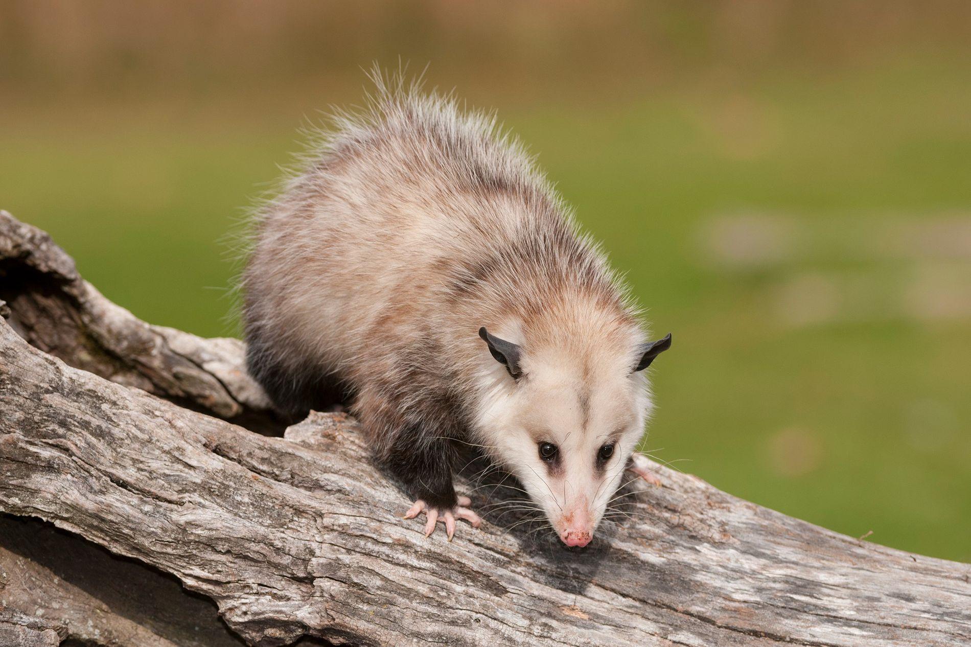 O gambá-da-virgínia (fotografado em Michigan) está bem longe do opossum das ilhas do Pacífico.