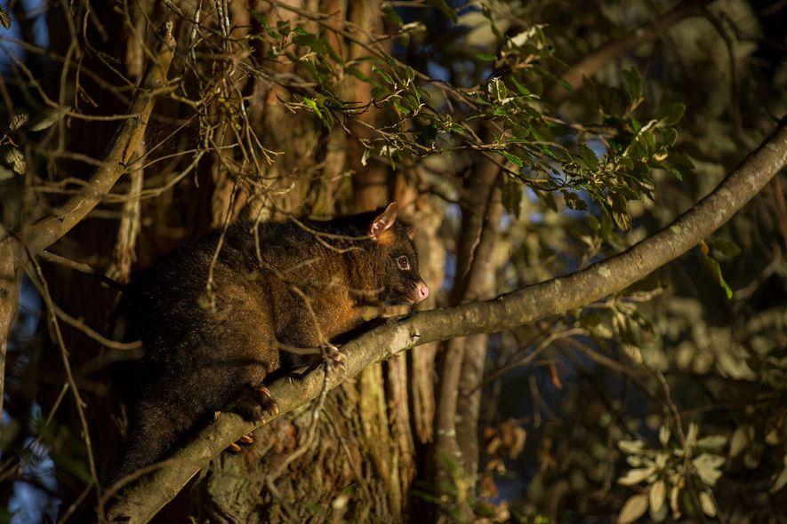 Marsupial da espécie Pseudocheirus peregrinus sobe em uma árvore no Parque Nacional Mount Field, na Tasmânia.