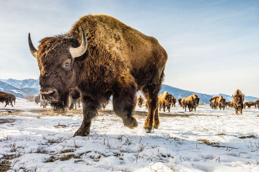 O bisão-americano (acima, no Refúgio Nacional de Alces, no Wyoming) não está intimamente relacionado ao verdadeiro ...