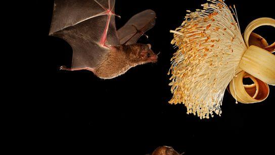 Um morcego-de-língua-longa-de-pallas se alimenta de néctar. As fêmeas dessa espécie possuem um método nunca antes documentado ...