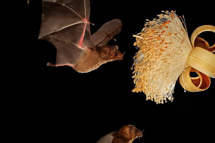 Morcegos regurgitam néctar para seus filhotes, diz novo estudo