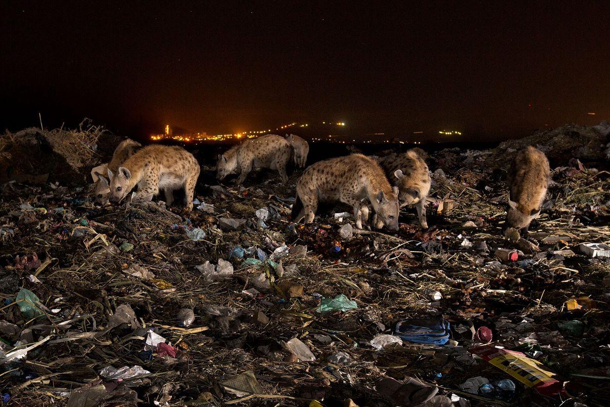 Um grupo de hienas vasculha por montes de lixo no aterro de Mek'ele, na Etiópia. Pedaços ...