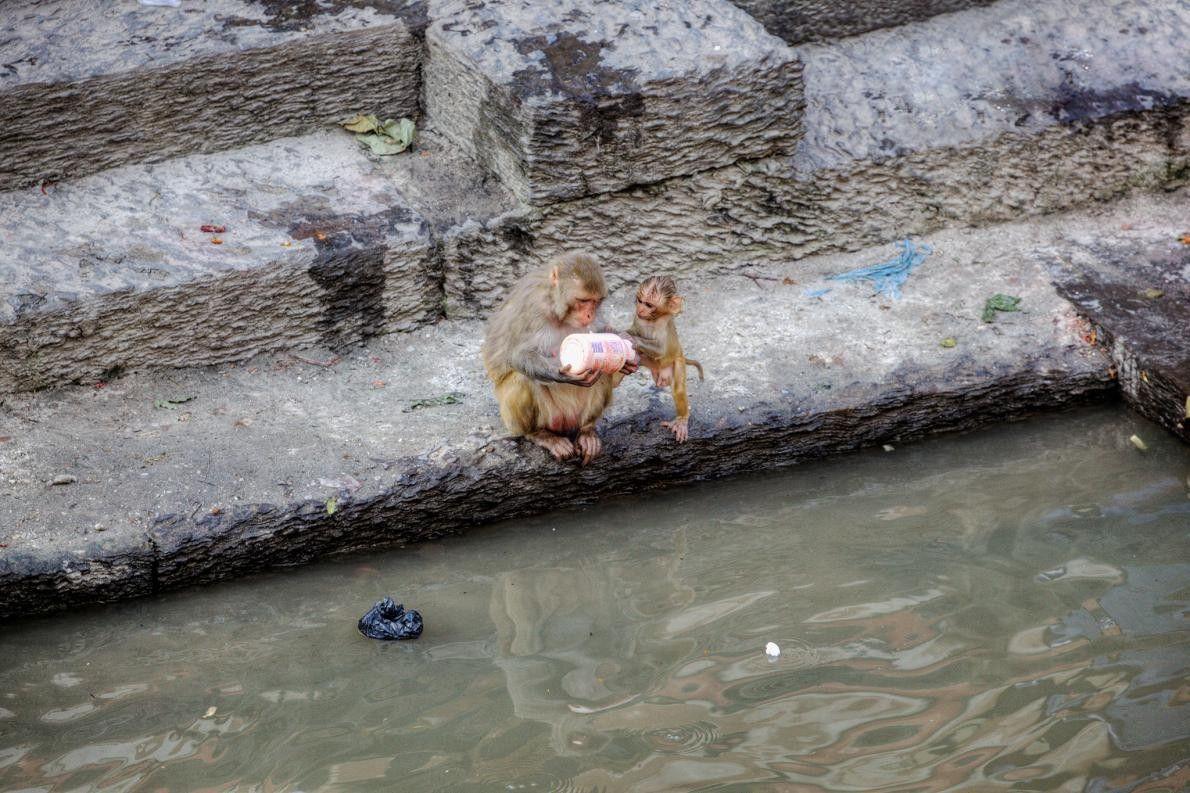 Dois macacos-rhesus inspecionam uma garrafa de plástico descartada com curiosidade infantil. Templo de Pashupatinath, Catmandu, Nepal.