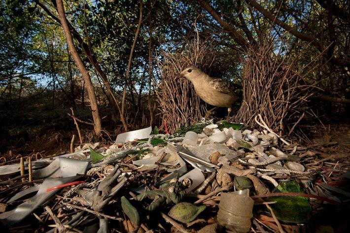 Um pássaro em seu ninho decorado com vidro e brinquedos de plástico. Townsville, Queensland, Austrália.