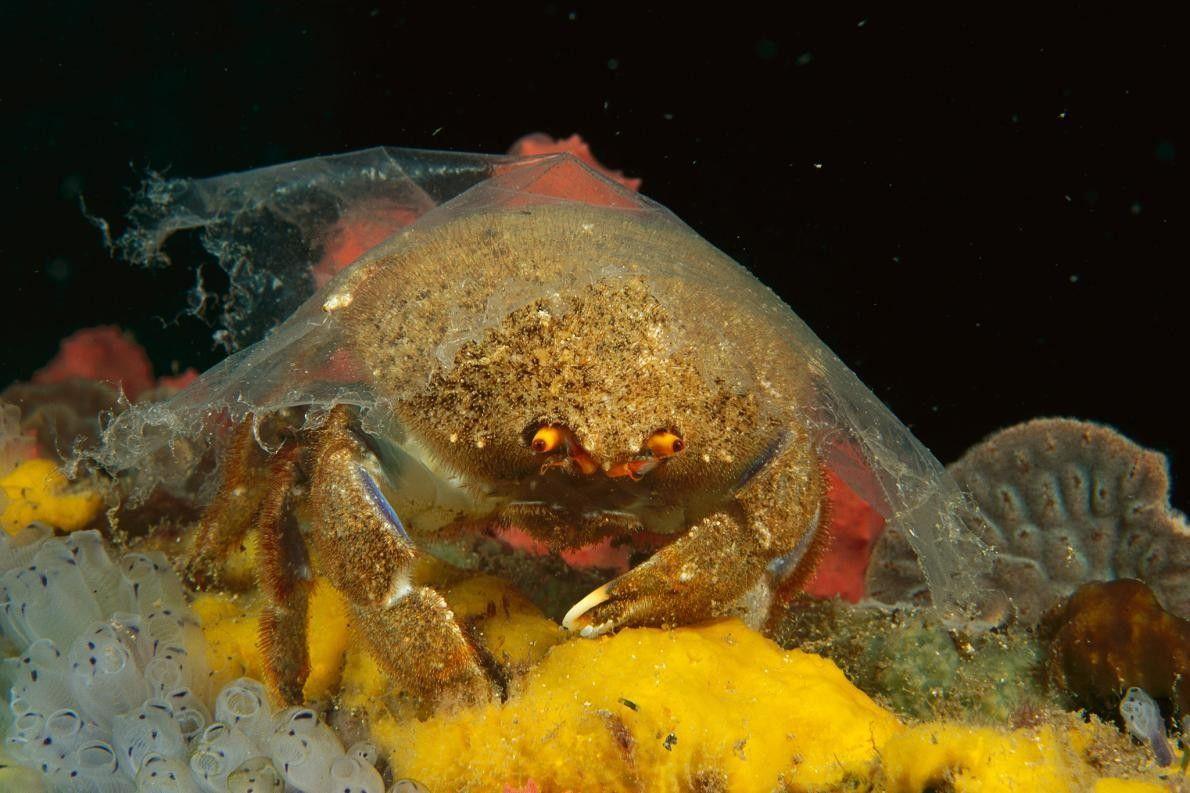 Um Austrodromidia octodentata com plástico sobre sua concha em vez de uma esponja, como é comum, …