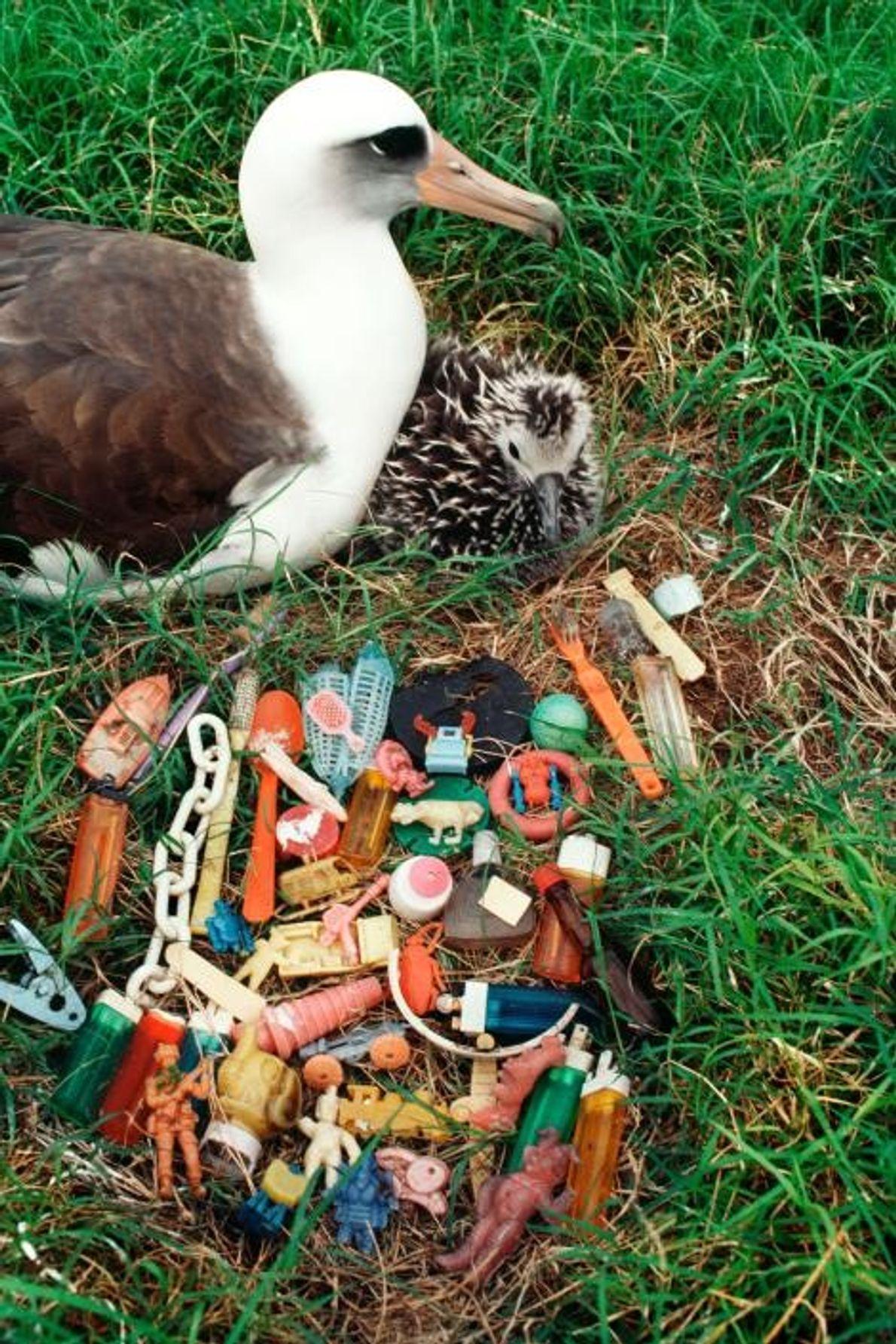 Lixo regurgitado por pássaros em uma colônia, no Havaí, Estados Unidos.