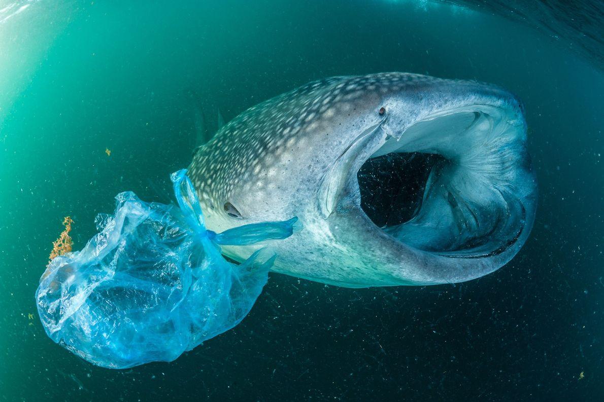 Um tubarão-baleia nada ao lado de uma sacola plástica no Golfo de Áden.